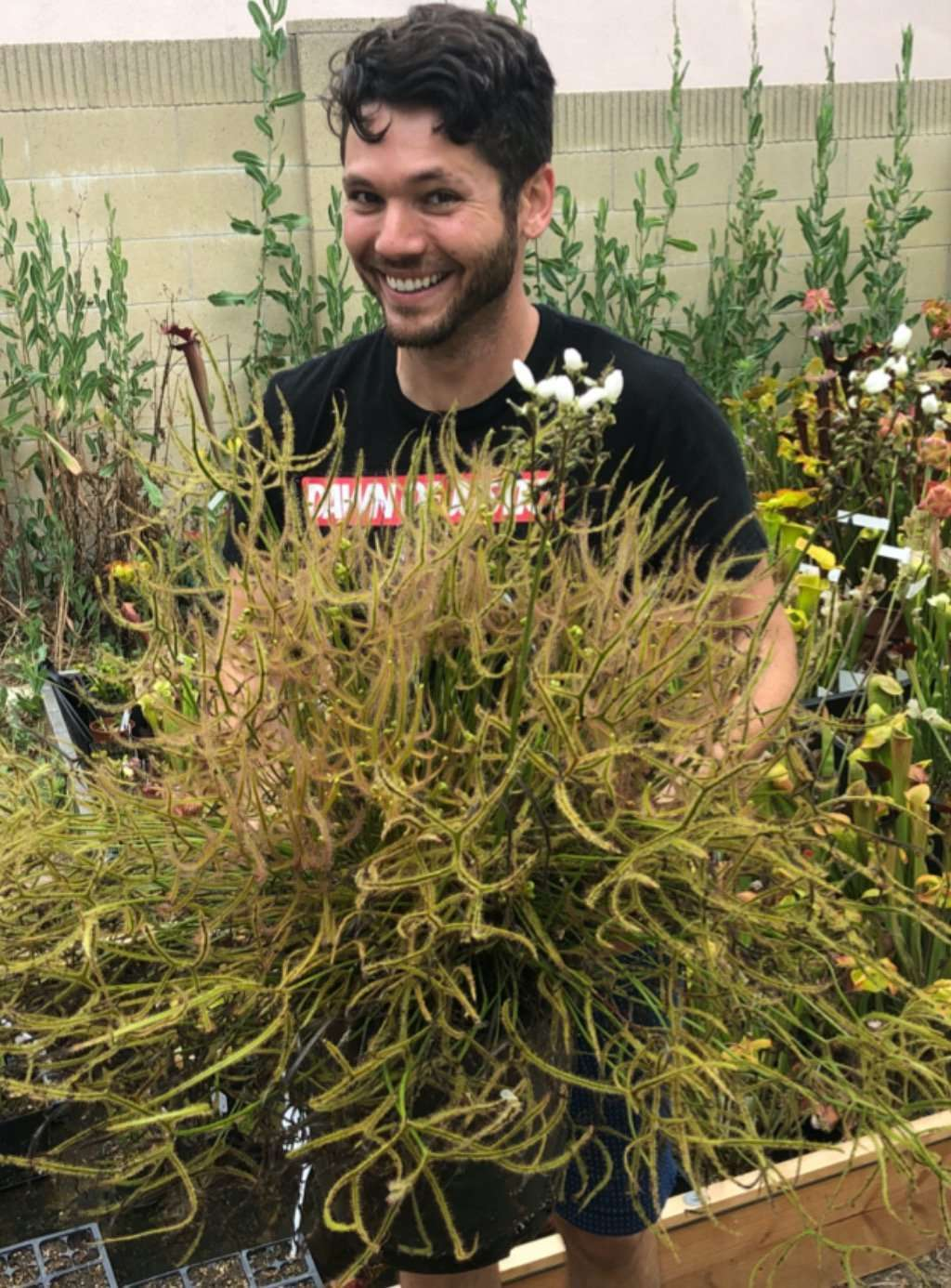 David with a drosera binata dichotomoa giant