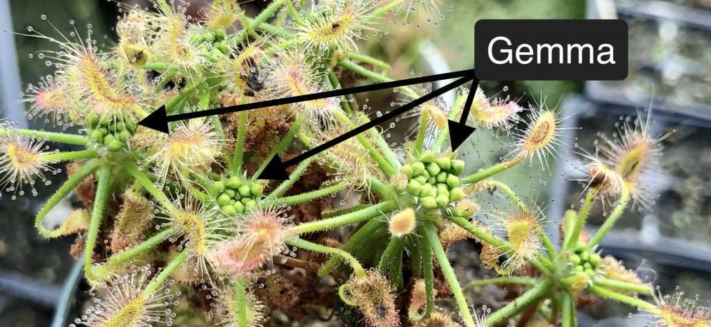 Drosera scorpioides gemma
