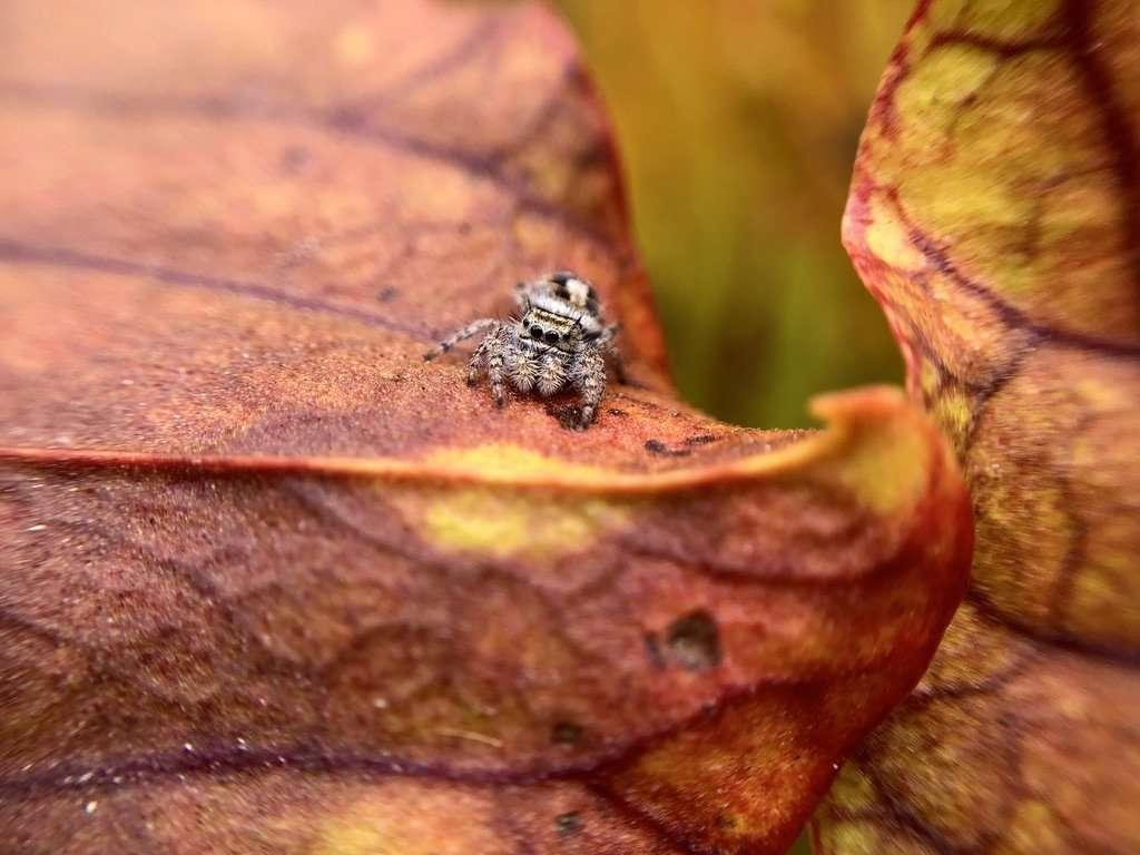 a wee spider on the lid of Sarracenia savannah fire x cinnamon tube