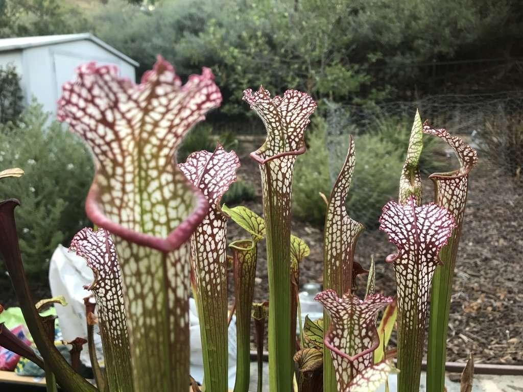 Sarracenia leucophylla for sale