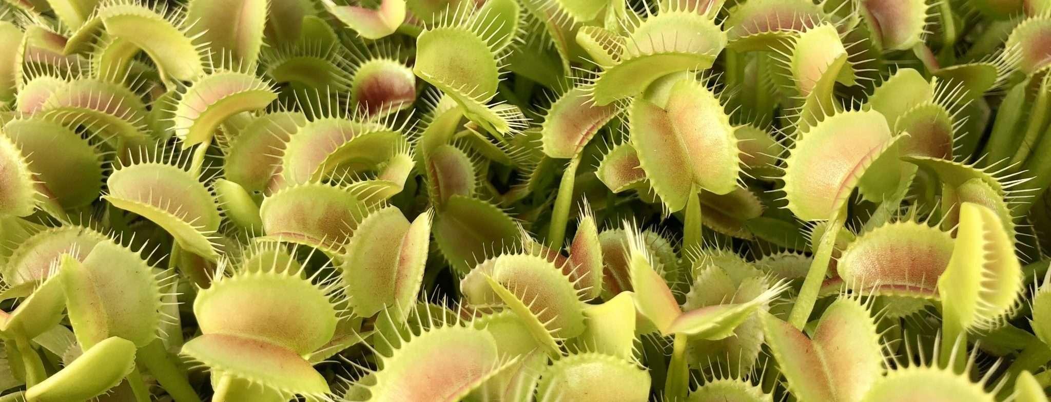 Venus flytrap terminology