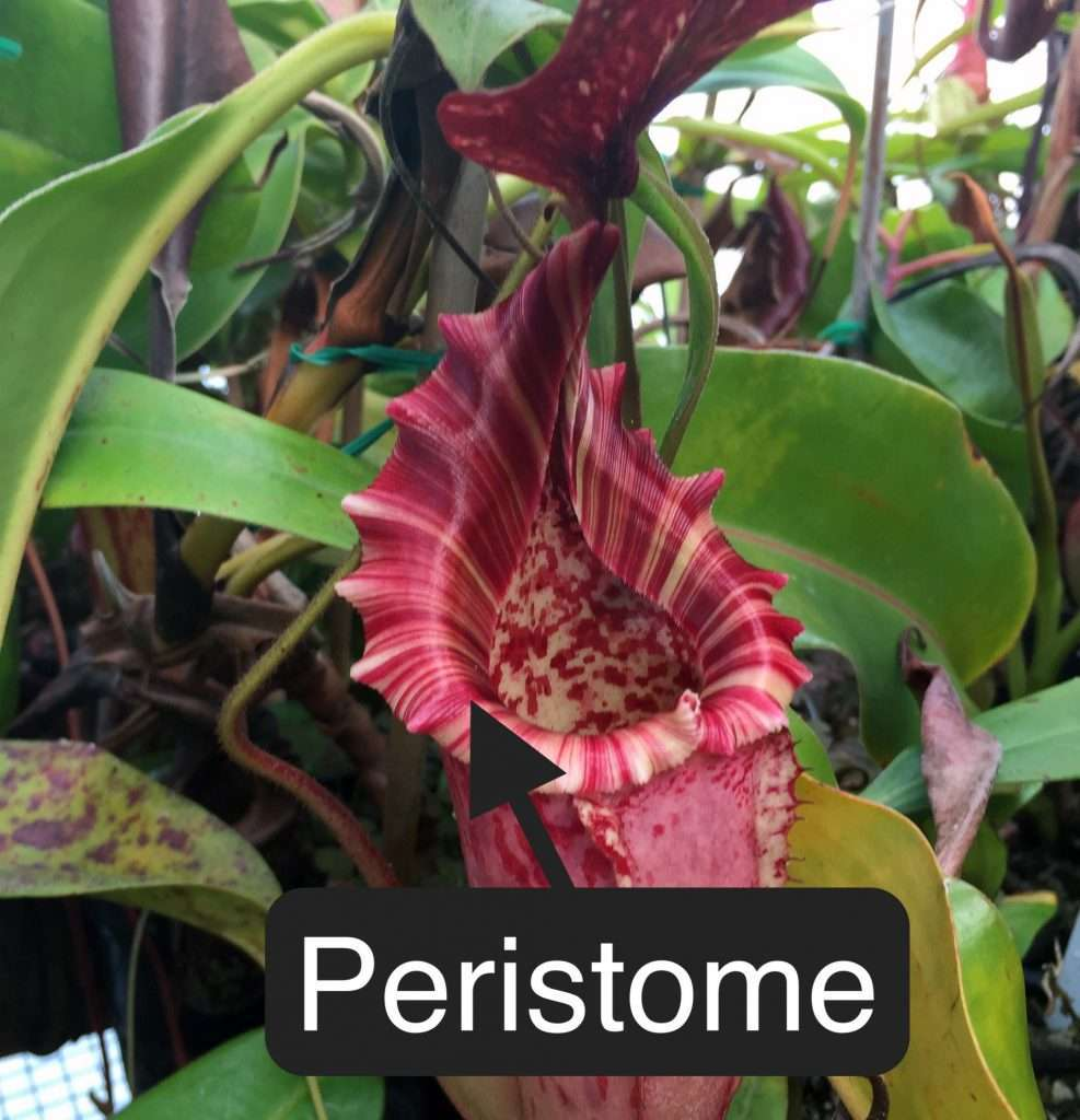 Nepenthes peristome