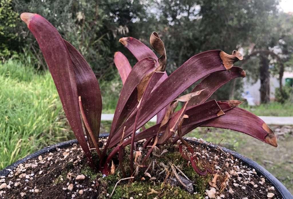 dormant Sarracenia phylodia