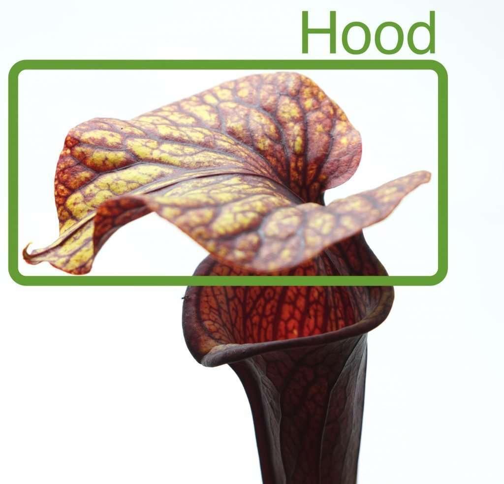 Pitcher plant hood