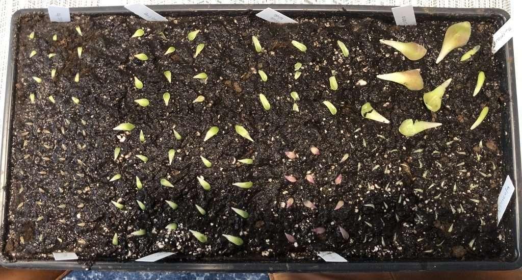 Butterwort leaf pullings lined up in soil