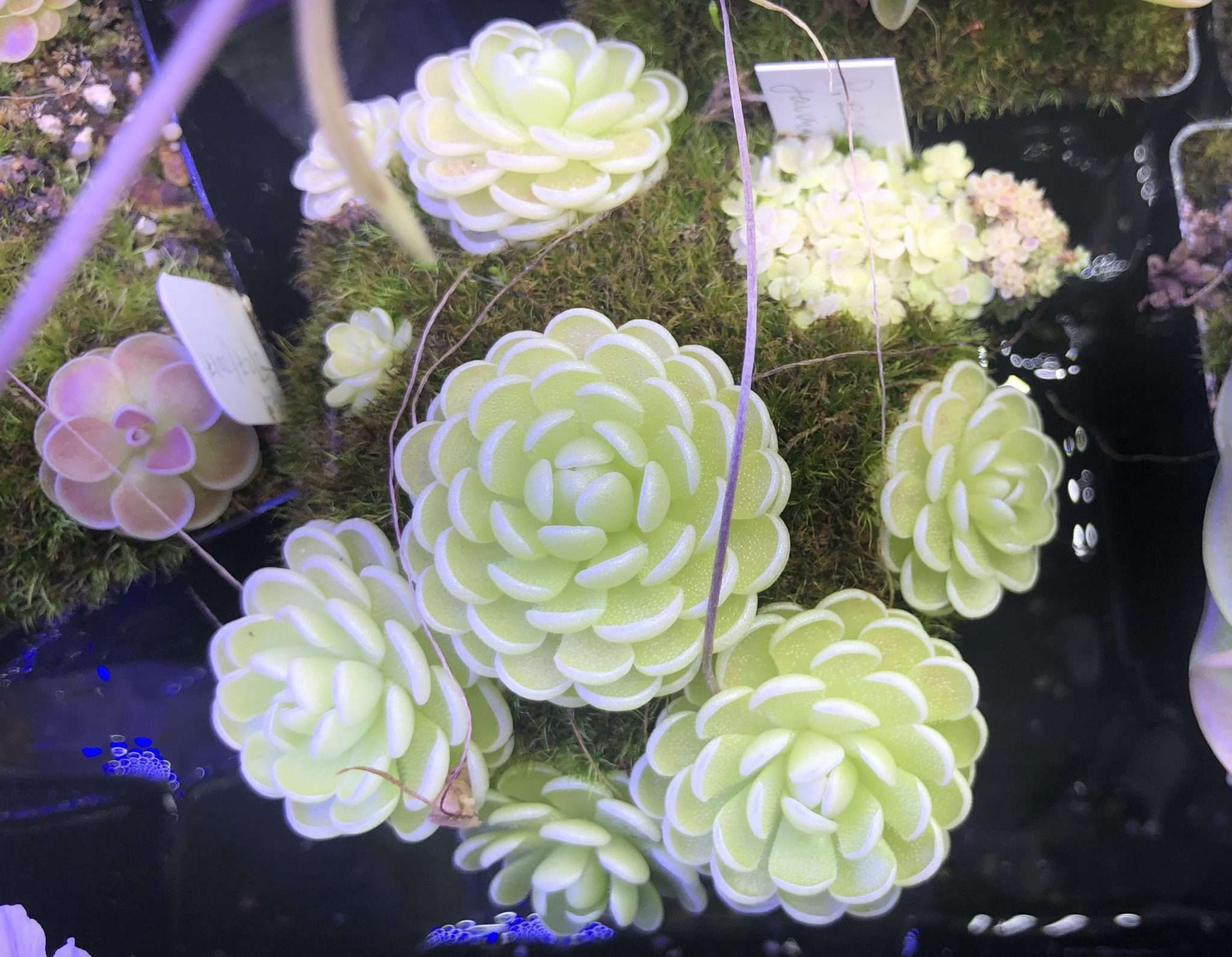 Cluster of Pinguicula