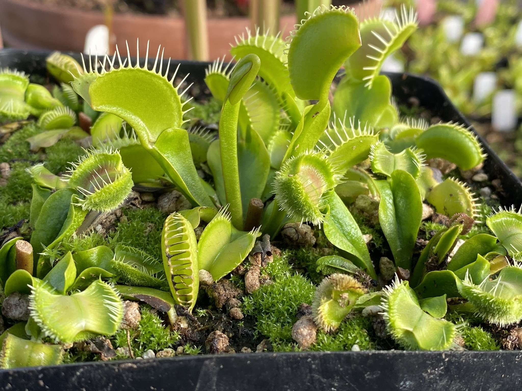 Dionaea st patrick's beard