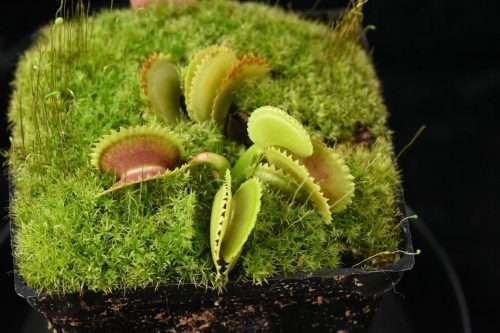 Dionaea shotgun star