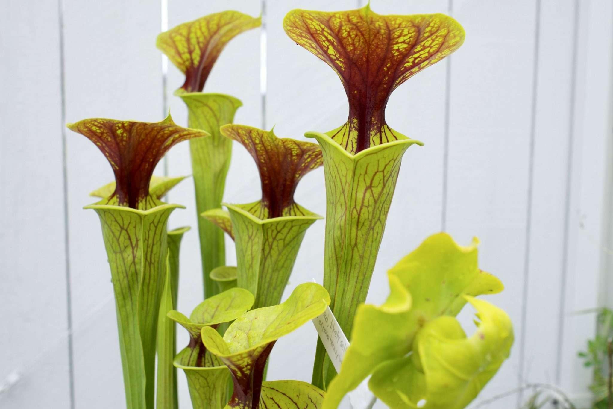 Sarracenia flava ornata heavy throat