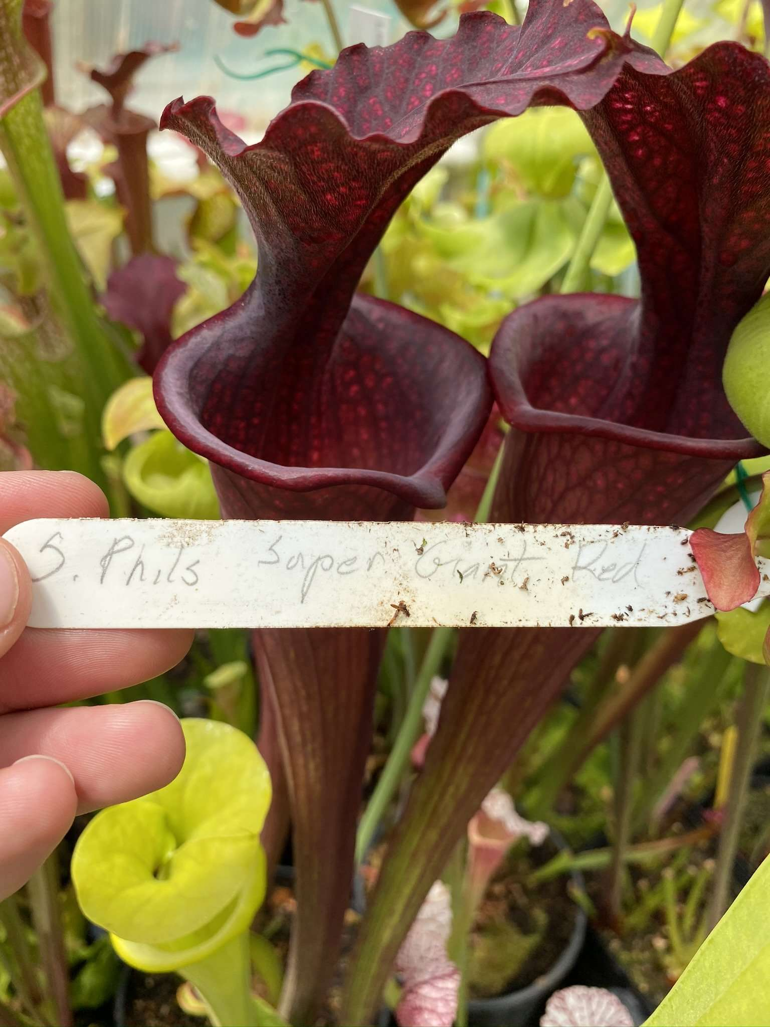 Sarracenia Super Giant Red Phil's Moorei tag