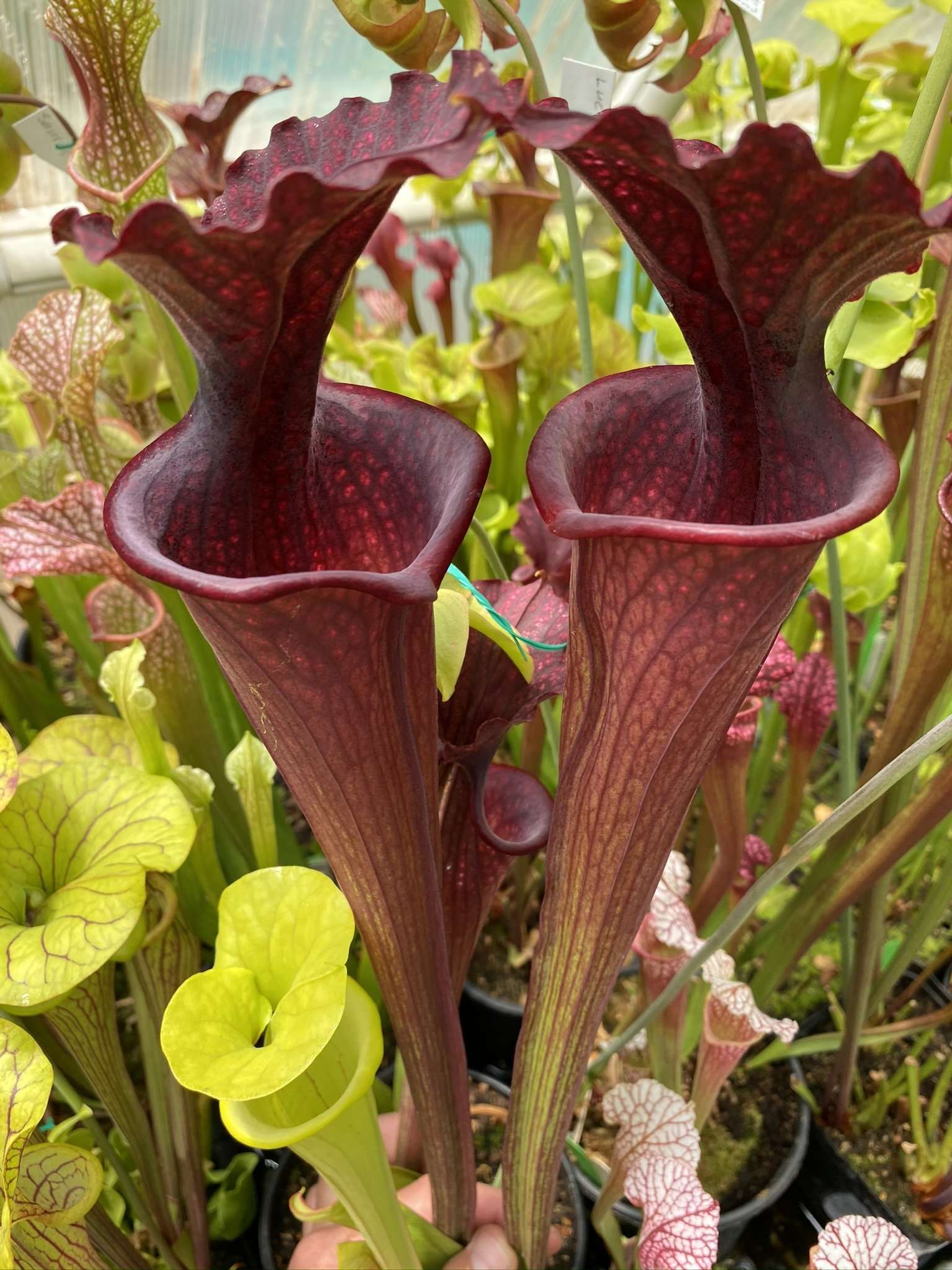 Sarracenia Super Giant Red Phil's Moorei