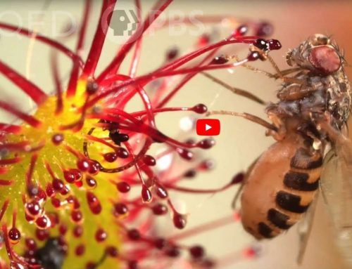 KQED Science publishes fun new video on sundews (featuring Carnivorous Plant Resource!)