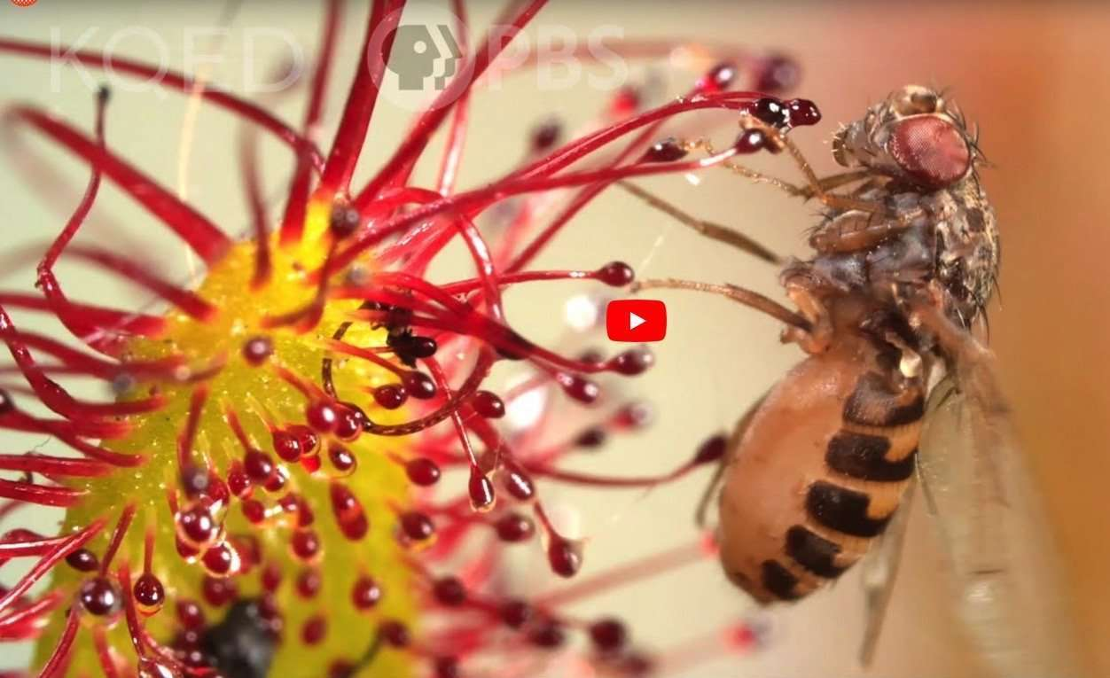 KQED Science features Carnivorous Plant Resource in article about Drosera