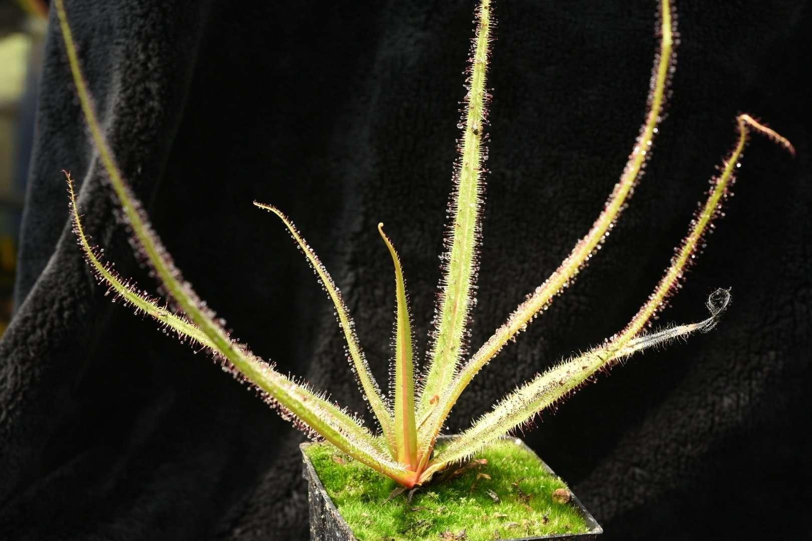 Drosera - king sundew