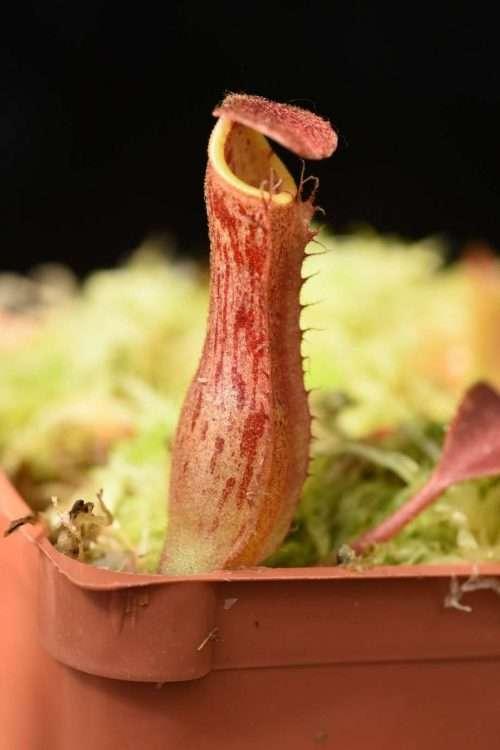 Nepenthes boschiana x veitchii Candy Stripe pitcher