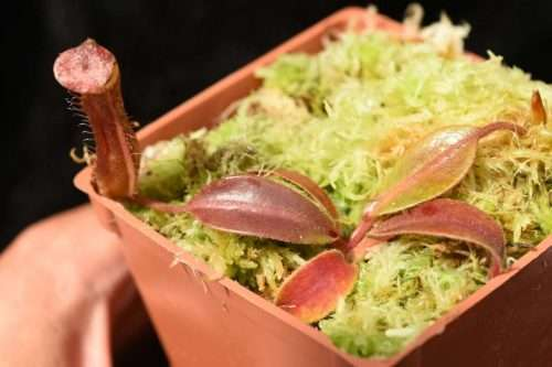 Nepenthes boschiana x veitchii Candy Stripe seedling