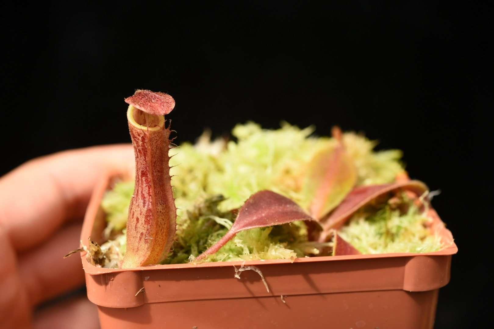 Nepenthes boschiana x veitchii Candy Stripe