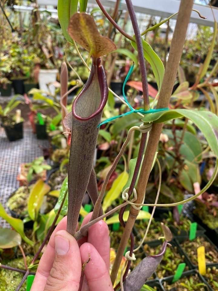 Nepenthes lingulata