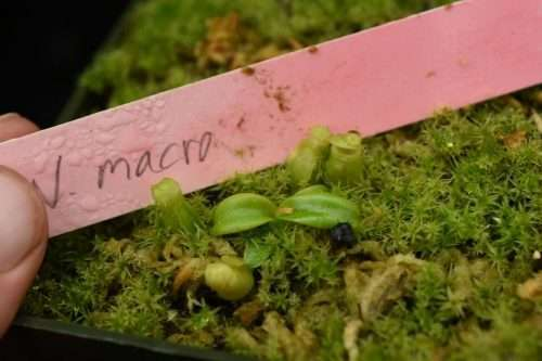 Nepenthes macrophylla