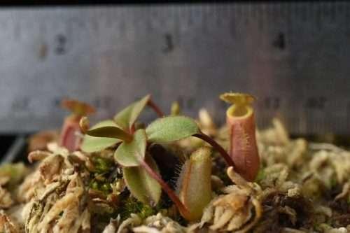 Nepenthes palawensis seedling