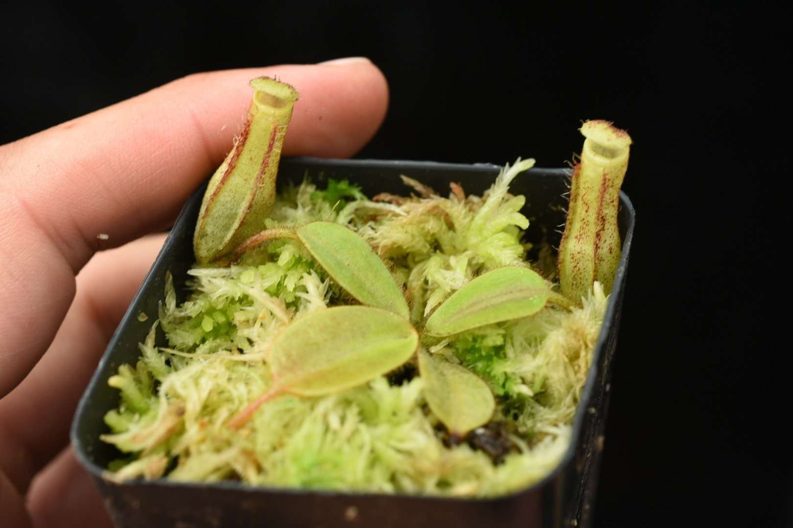 Nepenthes stenophylla seed grown
