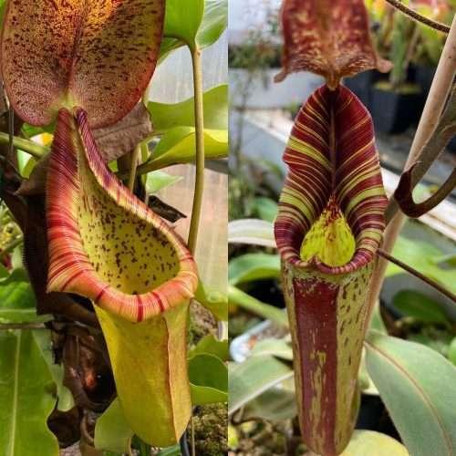 Nepenthes (truncata x ephippiata Giant) x mollis parents