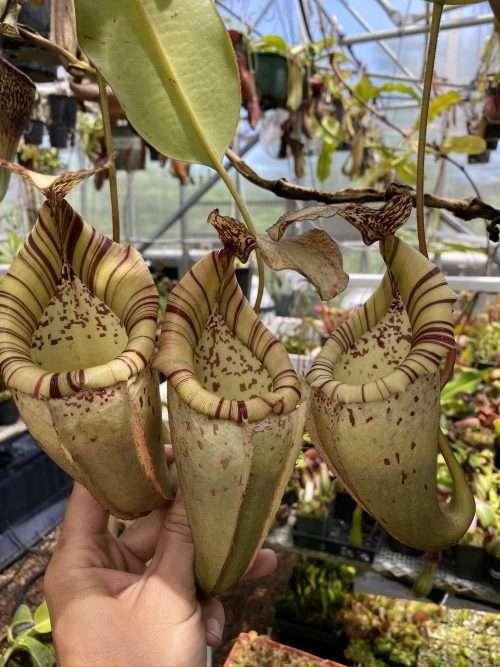 Nepenthes veitchii x burbidgeae