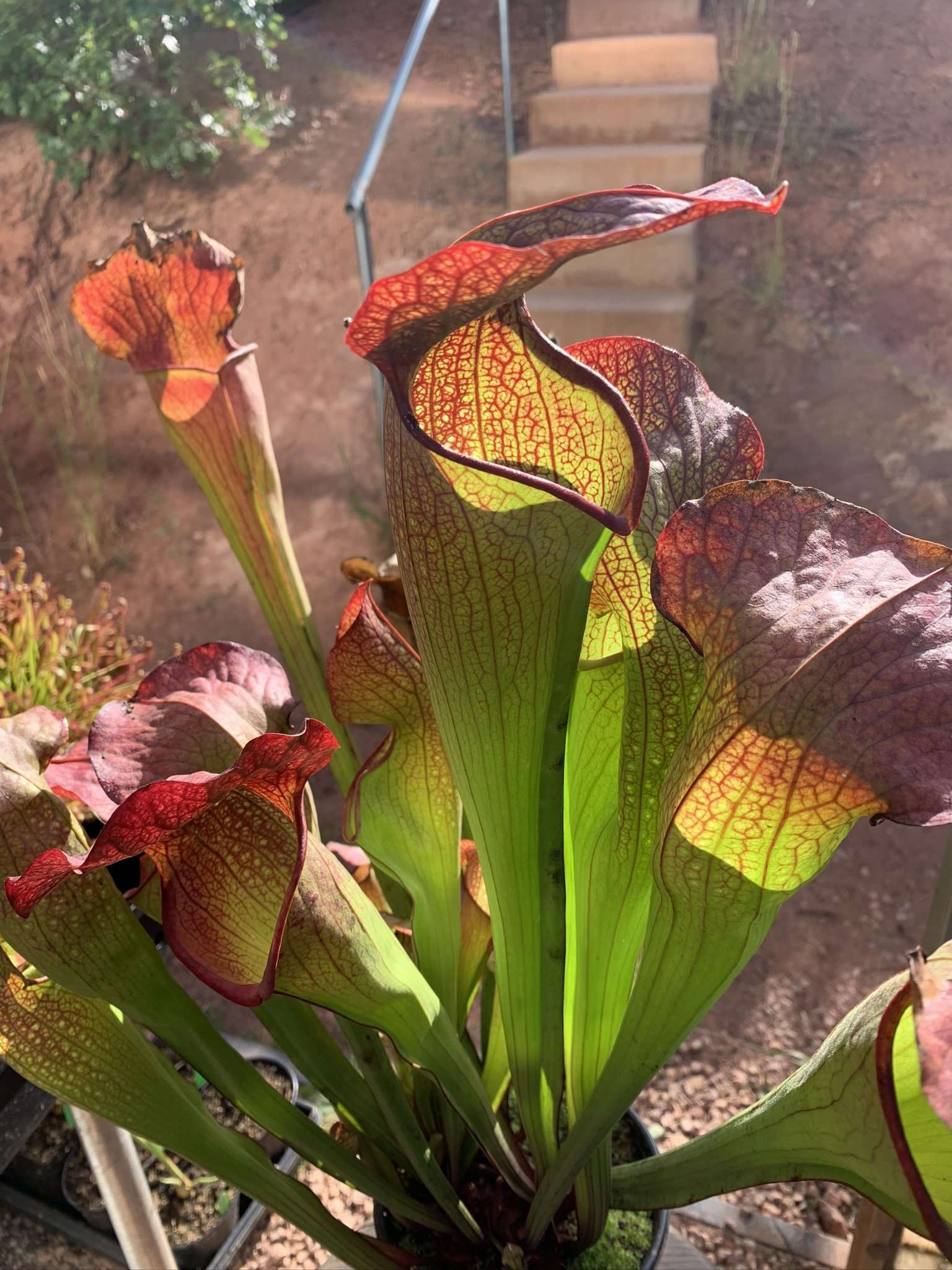 Sarracenia deep throat pitchers
