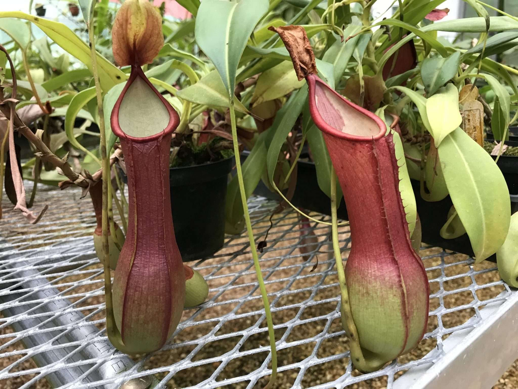 Nepenthes alata (pink)
