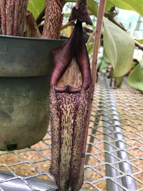Nepenthes maxima (purple)