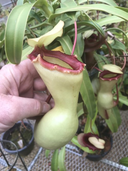 Nepenthes ventricosa porcelain