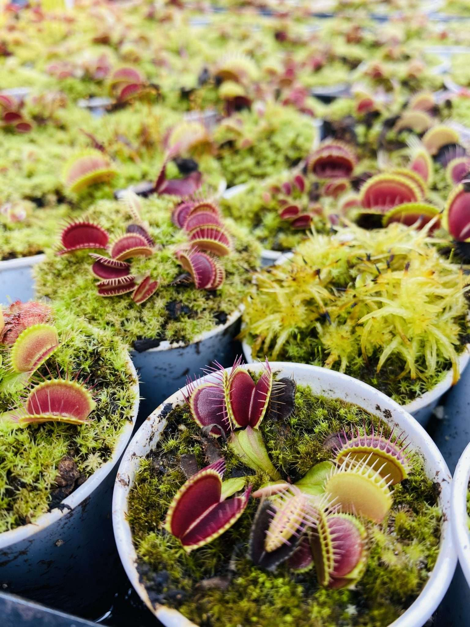Dionaea muscipula *seed grown*