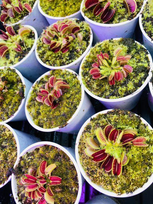 seed grown flytraps