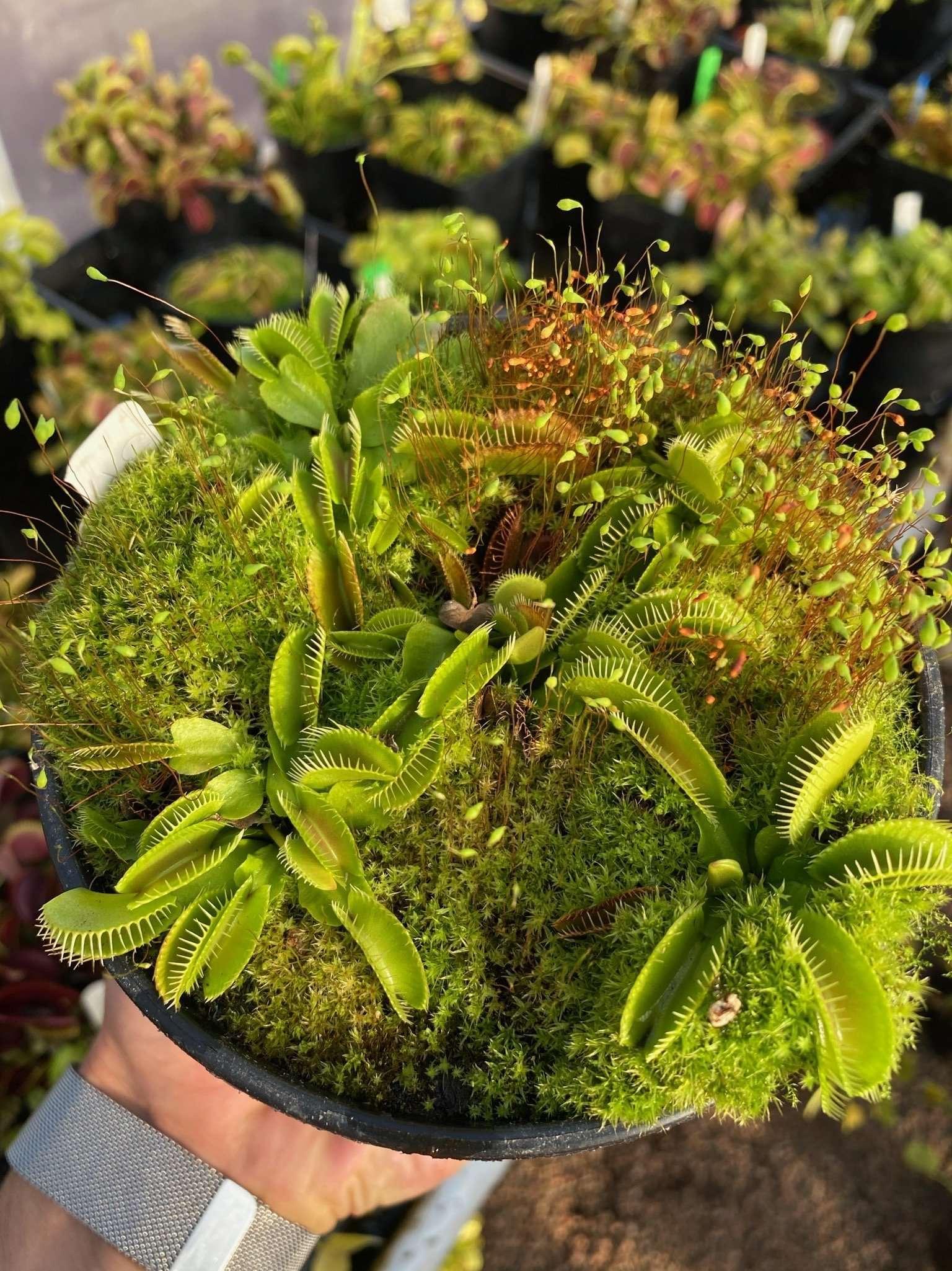 Dionaea muscipula cluster trap