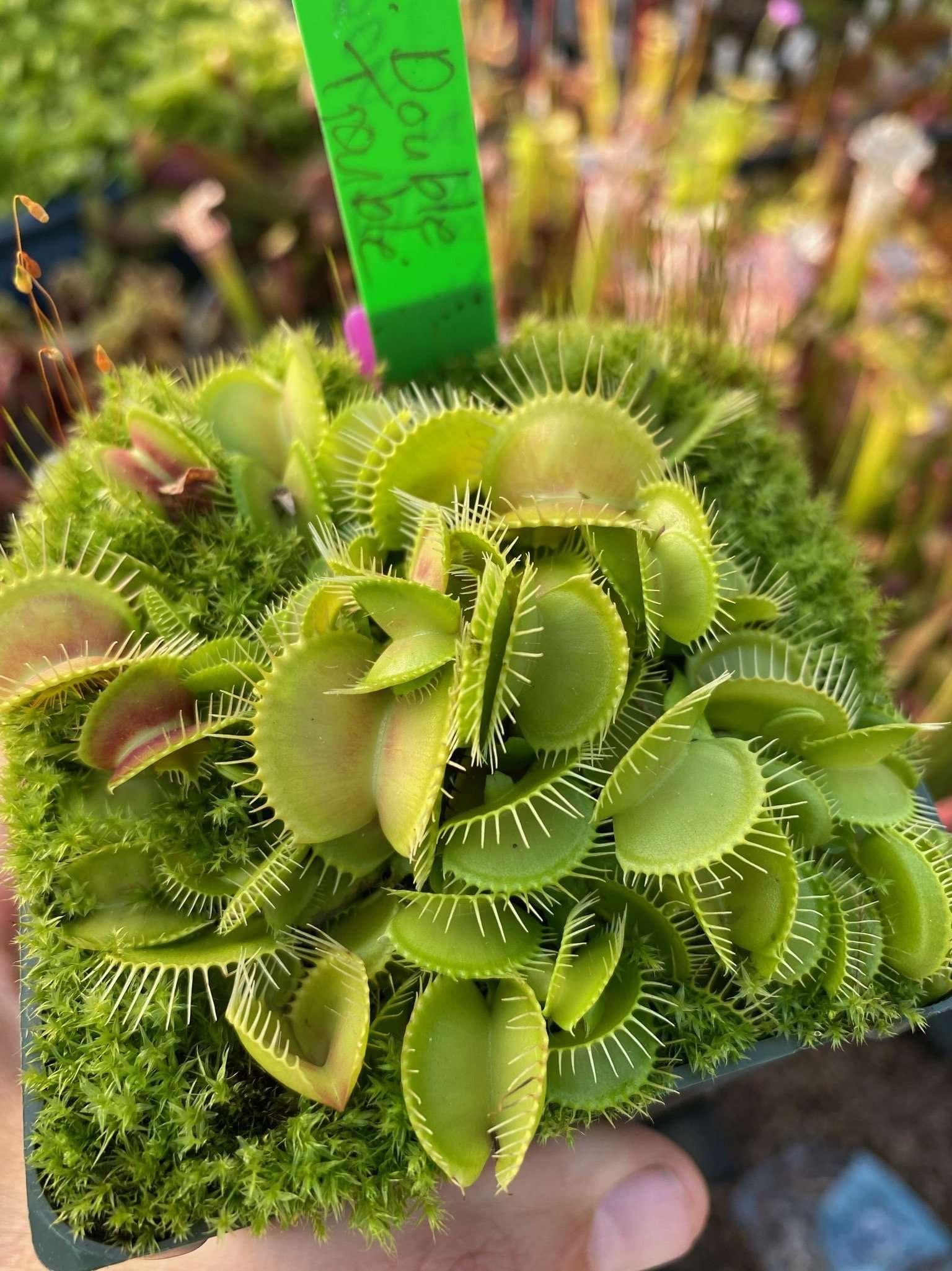Dionaea muscipula double trouble