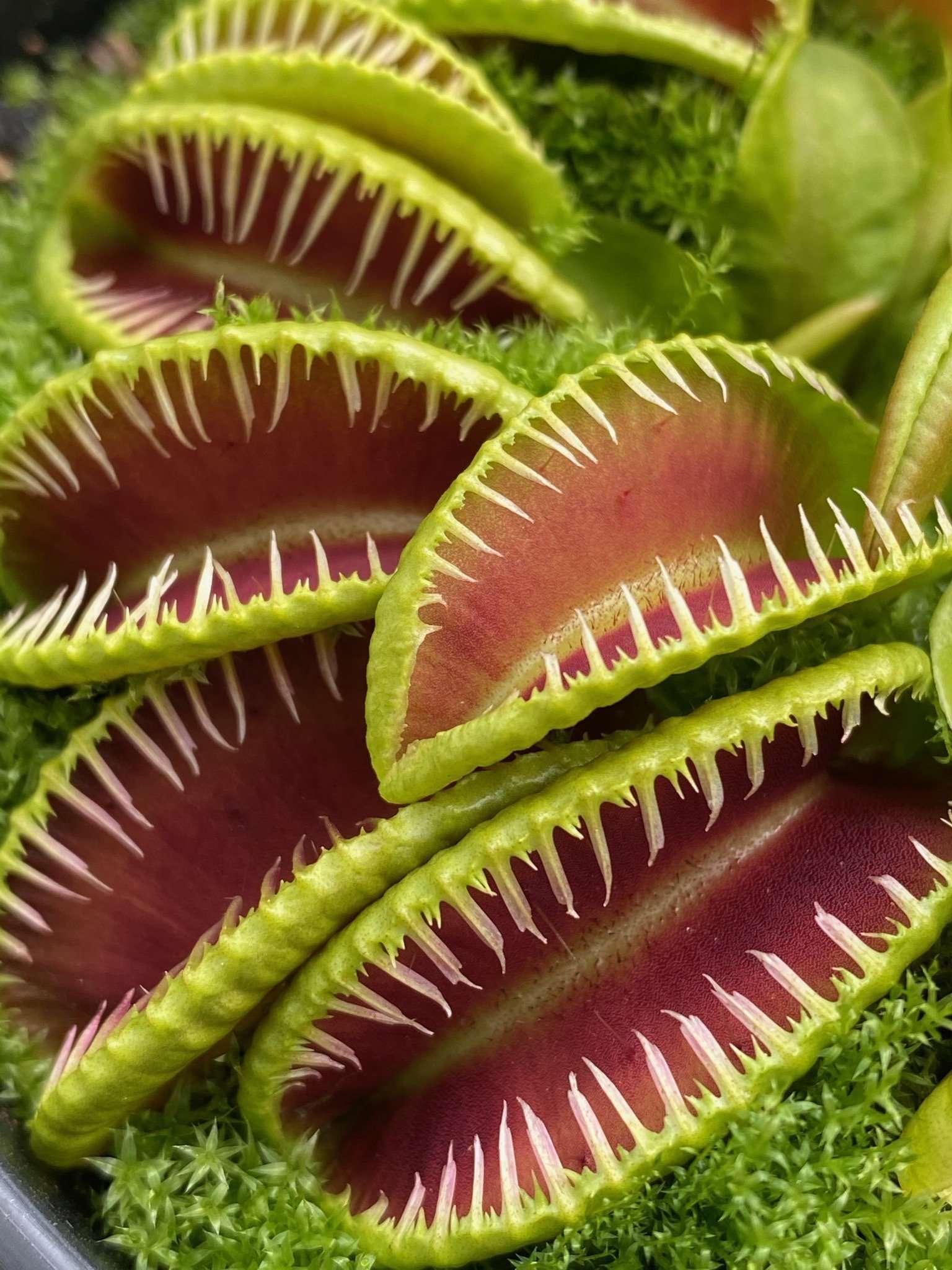 Dionaea muscipula hellcat closeup