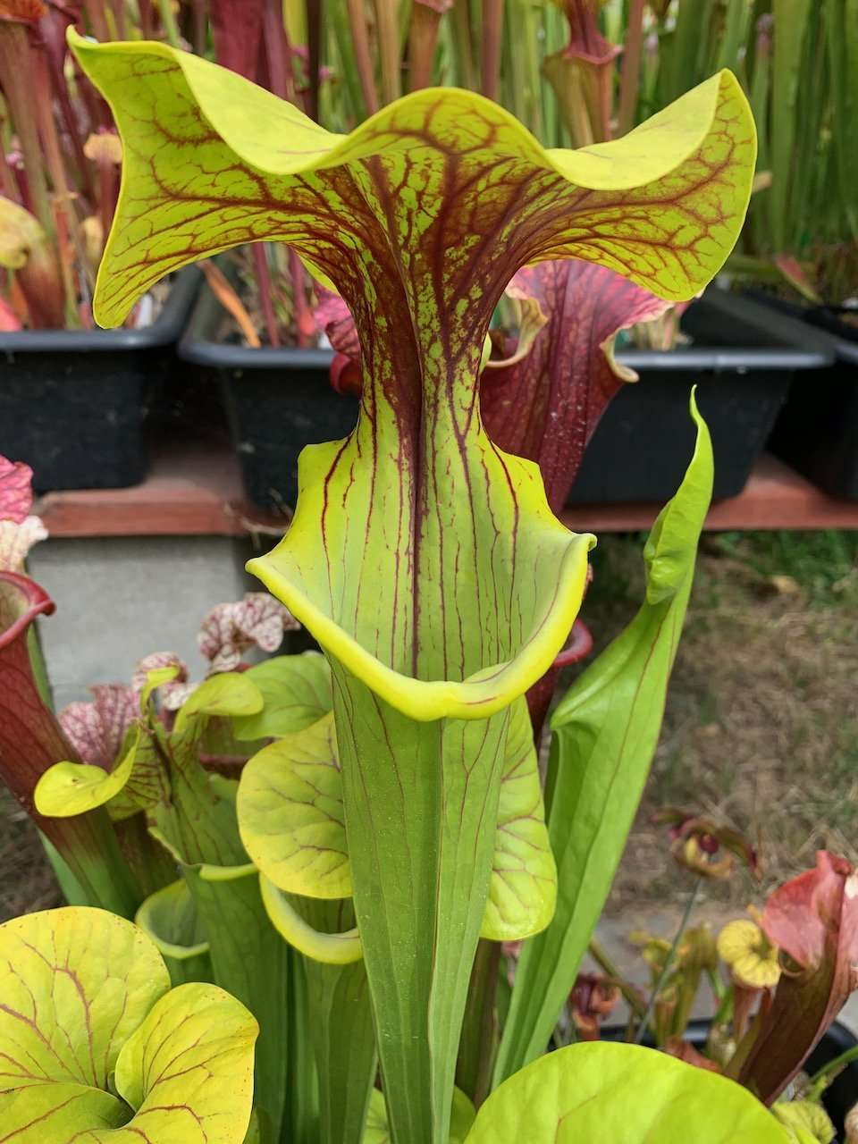 Sarracenia Doreen's Colossus x flava Chocolate Top