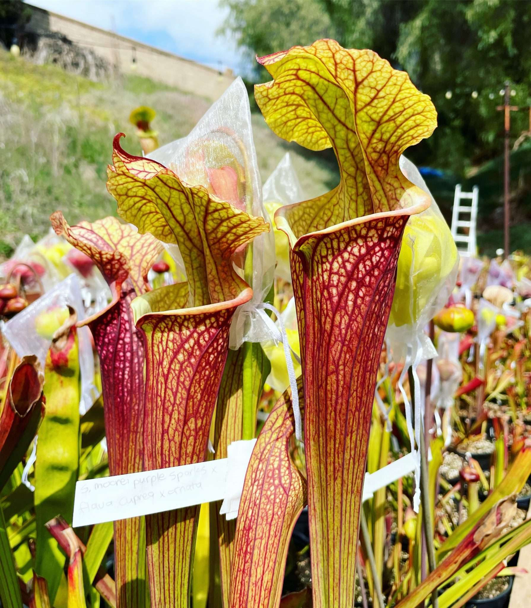Spring pitchers on Sarracenia purple sparks