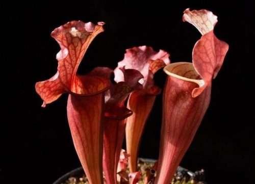 Sarracenia rosea x Kimber Red Ruffles
