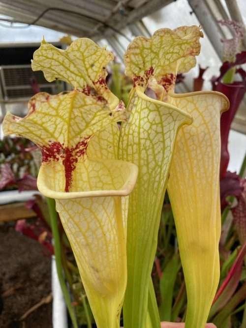 Sarracenia leucophylla Hurricane Creek White 1 x flava maxima