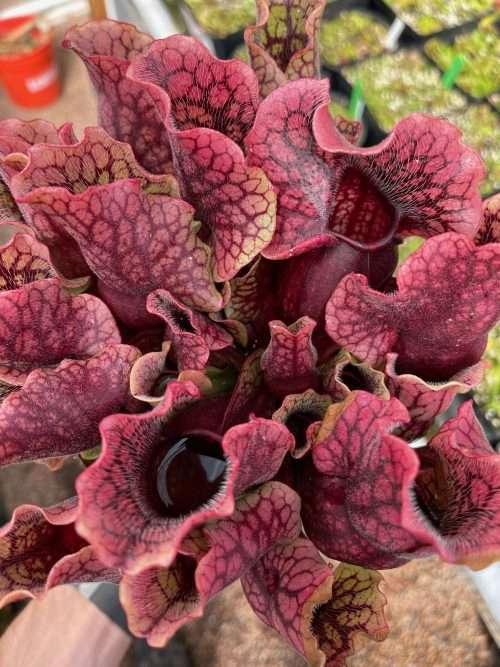 Sarracenia purpurea venosa Tattnall Co GA