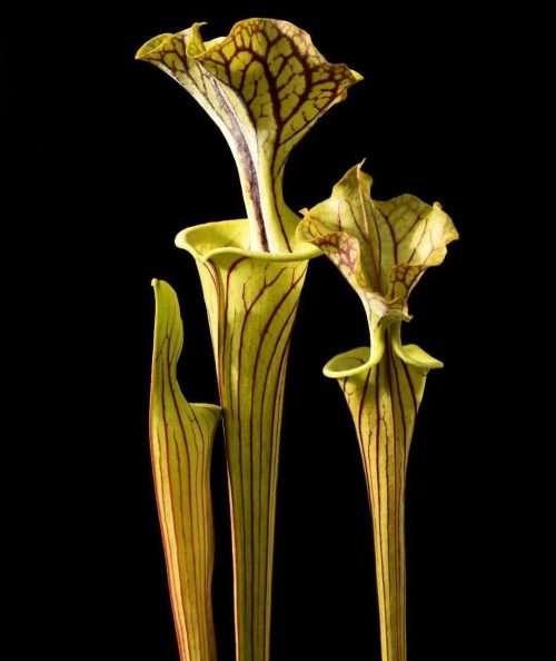 Sarracenia flava Ornata Black Veins Bulloch Co GA
