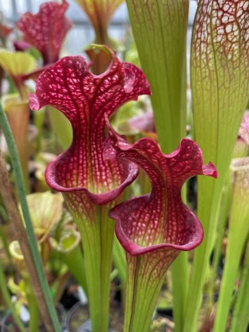 Sarracenia Judith Hindle x Royal Ruby #1